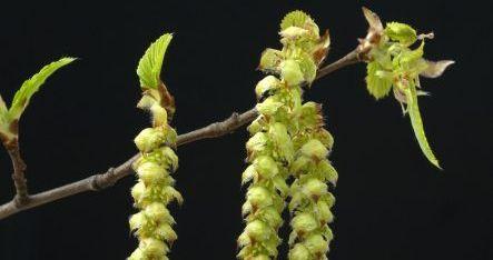 Bach Virágterápia: Hornbeam – Gyertyán